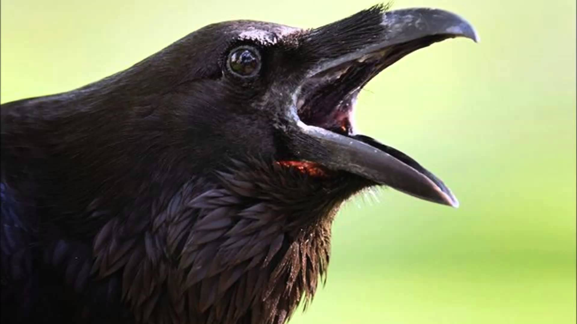 5 a crow cawing